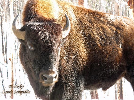 Yellowstone_buffalo_copy