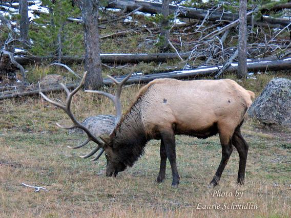 Yellowstone_bull_elk_copy